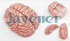 1:1 Human Anatomical Brain Epiphysis Dissection Medical Organ Teach Model