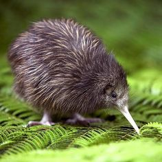 A kiwi bird! Kiwi with a beak! Does it taste like kiwi. Animals And Pets, Baby Animals, Funny Animals, Cute Animals, Odd Animals, Bizarre Animals, Penguin Animals, Pretty Animals, Animal Babies