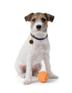 Imagen libre de derechos: Jack Russell Terrier Puppy