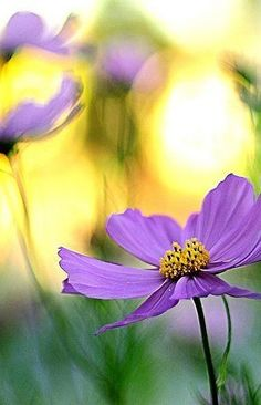 life in San Francisco you see is still just life. If you want any one thing too badly, its likely to turn out to be a dissappointment. The only healthy way to live life is to learn to. Enchanted Garden, Photography 101, Simple Pleasures, Bokeh, Live Life, Cosmos, Serenity, Beautiful Flowers, Jehovah