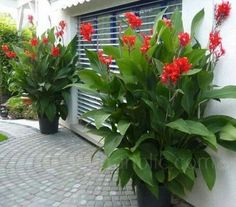 Garden Tips - Canna indica - New for 2016 - Flowers Seeds. Want, want and want. More Now is the time to start looking after the lawn so this summer is beautiful. That's why I'm going to start explaining how to start keeping it. Garden Containers, Plants, Planting Flowers, Tropical Garden Design, Patio Flowers, Backyard Landscaping, Outdoor Plants, Outdoor Gardens, Tropical Landscaping
