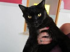 Johnny Depp is an adoptable Domestic Short Hair Cat in Colfax, IL. February 19, 2012, 8:20 pm...