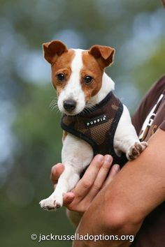"""Georgia Jack Russell Rescue, Adoption and Sanctuary 