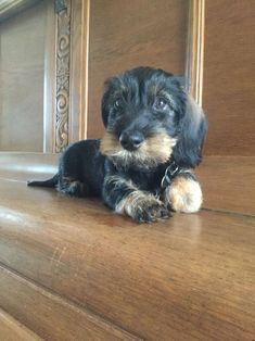 Too cute; Wirehaired dachshund puppy