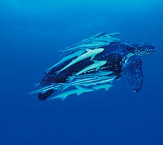Leatherback turtles are named for their shell, which is leather-like rather than hard like other turtles. They are the largest marine turtle species and also one of the most migratory, crossing both the Atlantic and Pacific Oceans.