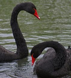 Black Swans- I want a pair and I'd name them Hotlips and Sweetlips