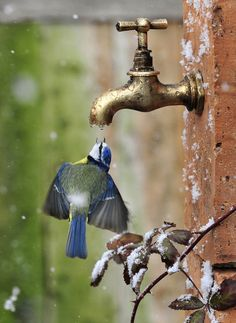 Amazing how these beautiful birds can find water if they need it, even if it is from a faucet! Amazing how these beautiful birds can find water if they need it, even if it is from a faucet! Pretty Birds, Love Birds, Beautiful Birds, Animals Beautiful, Beautiful Pictures, Pretty Flowers, Blue Flowers, Nature Animals, Animals And Pets