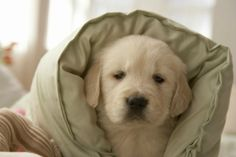 How to Bring a Golden Retriever Puppy Home thumbnail Best Puppies, Cute Puppies, Cute Dogs, Dogs And Puppies, Doggies, I Love Dogs, Puppy Love, Baby Animals, Cute Animals