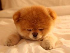 Pomerania puppy asleep