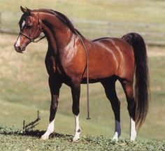 Khemosabi, Early American Foundation Arabian. I had a arabian mare once and Khemosabi was her great great grandsire