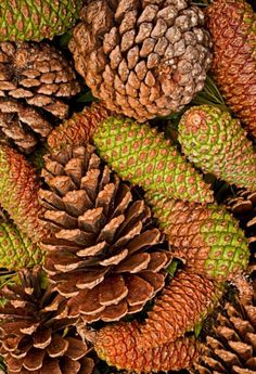 Pinecones with interesting colors and textures