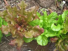 Try this to extend your lettuce crop. Those new to growing lettuce will want to take note!