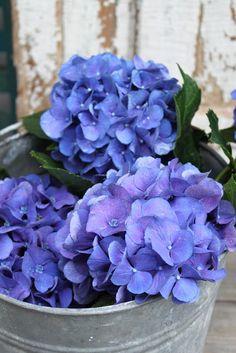 Blue Hydrangeas (my favorite flower in the world!) <3 but i do really love texas bluebonnets!
