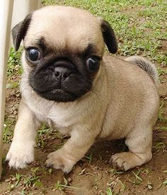 """""""What's that, a bug and a moving leaf?"""" #dogs #pets #Pugs #Puppies…"""