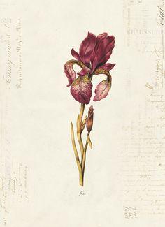 Vintage Botanical Iris on French Ephemera Print by OrangeClipart, $14.00