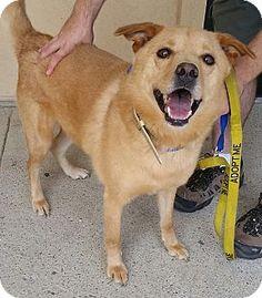 North Haven, CT - Chow Chow/Labrador Retriever Mix. Meet Nicholas, a dog for…