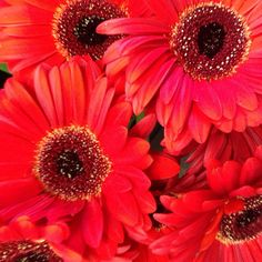 love the color...of gerber daisies!