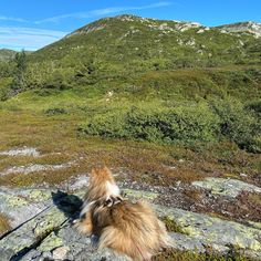 Nyter glaværet  #lifjell #sheltie #telttur #shetlandsheepdogsofinstagram #sheltiesofinstagram #sheltielove...