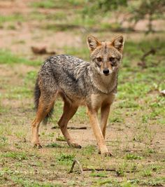 The Sri Lankan Jackal (Canis aureus naria), also known as the Southern Indian Jackal is a subspecies of golden jackal native to southern India and Sri Lanka. The winter coat of Sri Lankan jackals is shorter, smoother and not as shaggy than those of northern Indian jackals. The coat is also darker on the back, being black and speckled with white.