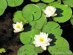 American white waterlilies/fragrant waterlilies (Nymphaea odorata) at Thrush Cove on Wincheck Pond at Camp Yawgoog.  A 2014 image by David R. Brierley.