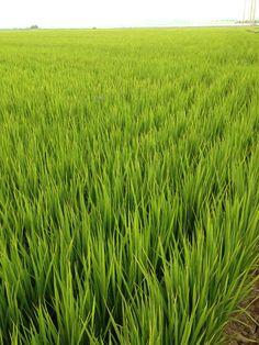 오도미   지구상의 쌀!