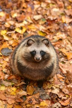 RACCOON DOG.....aka the magnut or tanuki....found in east Asia....measures 20 - 23.5 inches long with a 7 inch tail and an average weight of 17 lbs....the only member of the dog family to hibernate .....one of only 2 that can climb tree