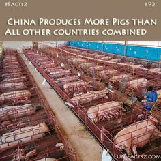 Largest Pork Producers Country #facts #funfacts #randomfacts #factoftheday #funnyfacts