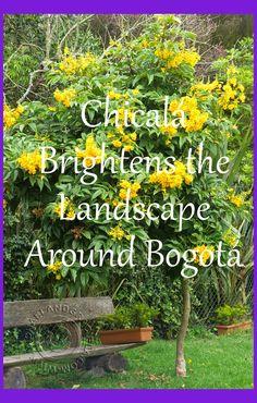 Tecoma Stans (A.K.A. Chicalá) blooms in bright yellow around Colombia's capital city