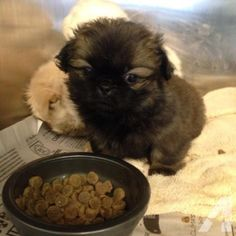 pekingese puppies for sale ky - Google Search                              …