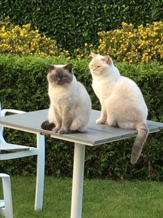 Toby and Minou British Shorthair