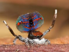So many beautifully colored Peacock spiders, it's rather hard to choose.