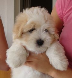 This is a face you gotta love. I got my first Coton in 1999, they have extraordinary temperaments.