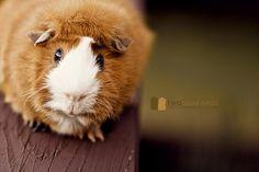 Ginger aka Beethoven. #guineapig #cavy #brainy