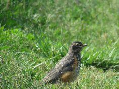 Bird Photos, Birding Sites, Bird Information: JUVENILE AMERICAN ROBIN, COLONEL SAMUEL SMITH PARK...