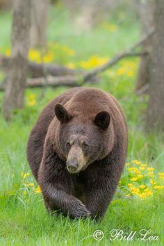 Watercolor Sketch, Black Bear, North America, Bears, Creatures, Sketches, Nature, Animals, Drawings