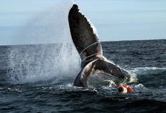 Take action - send a letter to help save whales from deadly entanglements. IFAW has worked hard to protect whales from injury and death due to entanglement in fishing gear.