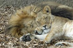 Love (or lust) between African lions.