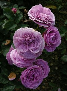 30 Purple Rose Hybrid Rare Rose Seeds Fresh Exotic by FlowersSeeds Lavender Roses, Purple Roses, Growing Roses From Seeds, Blue Moon Rose, Drift Roses, Rare Roses, Fragrant Roses, Purple Garden, David Austin Roses