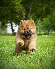 Tan and black Chow Chow puppy running in grass. By Neptunecocktail