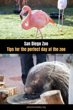 Tips for visiting San Diego Zoo Visit San Diego, San Diego Zoo, Group Travel, Family Travel, Travel Usa, Travel Tips, Elephants Playing, Shuttle Bus Service, All Family