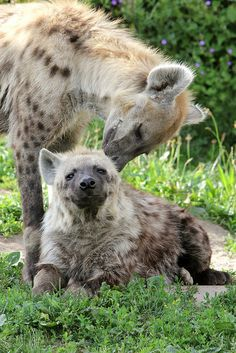 Hyena affection | Amazing Pictures - Amazing Pictures, Images, Photography from Travels All Aronud the World