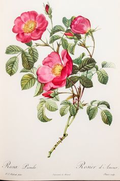 Pierre Redoute, Vintage 1950s Botanical Rose Print on Good Quality Art Paper, Rosa Pumila