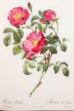 Pierre Redoute Vintage des années 1950 botanique par PaperPopinjay