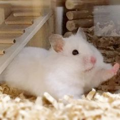 Syrian Hamster stretching Hamster Life, Baby Hamster, Hamster Cages, Hamsters As Pets, Funny Hamsters, Rodents, Cute Little Things, Cute Little Animals, Cute Funny Animals