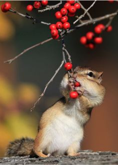 Berries for a Chipmunk