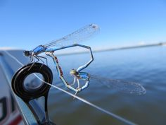 A couple of dragonflies mating on the end of my fishing pole