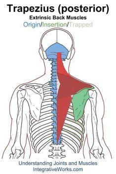 oit-trapezius-posterior