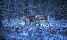 Image result for arctic forest Arctic, Winter, Image, Winter Time, Winter Fashion