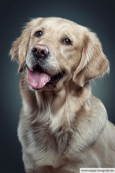 Photograph Holly - Golden Retriever Lady by linsensuppe - fotografie on 500px