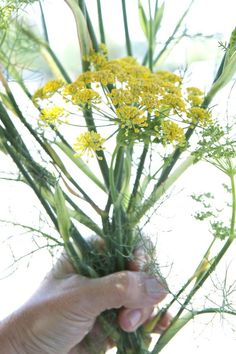 Weeds You Can Eat : harvesting fennel (even the pollen!) for its light anise flavor